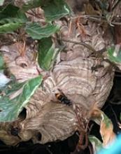 Nest Aziatische hoornaar